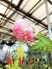 タキユリ~3タイプ さて標準花は - 園芸のいのうえ屋