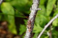 ヤハズカミキリ - Insect walk