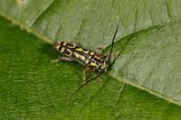 ジュウニキボシカミキリ - Insect walk