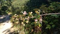 野生ブラックベリーの花・青い実と山で迷子、トスカーナ - イタリア写真草子 - Fotoblog da Perugia