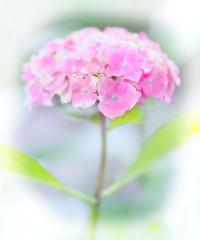 能護寺の紫陽花 24 - 光 塗人 の デジタル フォト グラフィック アート (DIGITAL PHOTOGRAPHIC ARTWORKS)