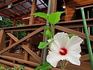 タイタンビカスという花です -
