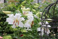 庭の白い花*挿し木は成功 - my small garden~sugar plum~