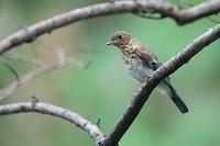 オオルリの幼鳥 - 上州自然散策2