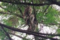 鎮守の森のアオバズク - 季節の風を追いかけて