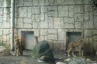 ネコ好きにはたまりません、1ヵ月ぶりのチーター3兄弟(日野市、多摩動物園) - 旅プラスの日記