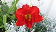 ヘメロカリスが咲いた♪ - 今から・花