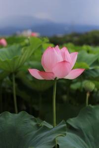明日の花 - A primrose by the river's brim