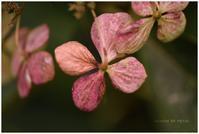 アジサイその後。 - Season of petal