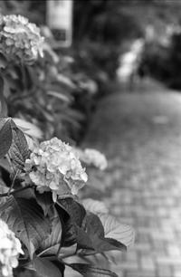 紫陽花の季節を振り返る - パトローネの中