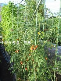 夏野菜の種取シーズン到来と、野風一号畑の様子♪ - 手作り弁当 野風