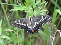 キアゲハの黒化型 - 堺のチョウ