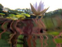 池の鯉目線で睡蓮を見る - スポック艦長のPhoto Diary