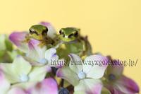 紫陽花とアマガエルの子供 パート2 - イチガンの花道