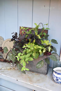 8月の寄せ植え教室はブラックパール♪ - 小さな庭 2