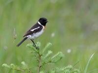 戦場ヶ原でノビタキが目前に - コーヒー党の野鳥と自然 パート2