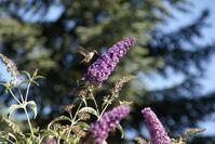 ハチドリの写真 - コテージ便り