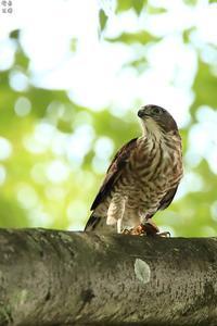 地元のツミ - 野鳥公園