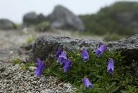 木曽駒・極楽平の花 その1 - 花鳥風景