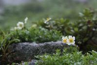 木曽駒・極楽平の花 その2 - 花鳥風景