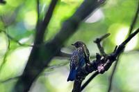 水場のimmたち - 武蔵野の野鳥