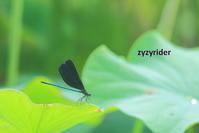やっと逢えたハグロトンボ - ジージーライダーの自然彩彩