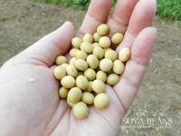 大豆を蒔く(~畑便り~)Sow the soybeans - 沢ぱん日記