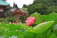 蓮の花 - お散歩写真     O-edo line