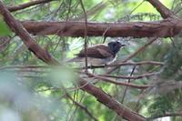 ついに登場、サンコウチョウBabiesは既に大きい - 四十雀の欣幸 ~野鳥写真日記~