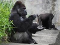 お隣さんが人気ですねシャバーニさん 東山動物園2017/7/30 - ヒトのたぐい ゴリラと愉快な仲間たち
