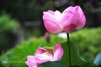 古刹に古代蓮が咲く - くにちゃん3@撮影散歩