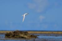 エリグロアジサシ(Black-naped tern)/2017.07 - Birding