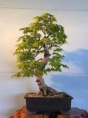 もみじ - 盆栽亭「英樹」