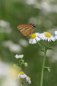 トラフシジミとの遭遇 - 蝶超天国