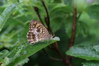 霧と小雨の中でも・・・キマダラモドキ - 蝶超天国