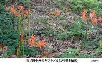 キツネノカミソリ咲き始めました - 比企の郷 月輪紀行