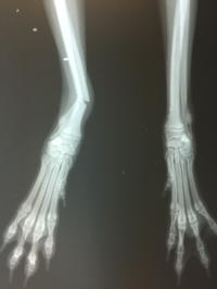 8月の担当医のお休み・変更のお知らせ          超小型犬 ALPSチタンプレートによる橈尺骨骨折手術 - 京都市のメイプル動物病院のブログ(お知らせ)