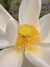 今日も咲いた蓮根の花。とにじまる食堂のお弁当。 - にじまる食堂 & にじまる農園