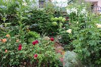 7月末の庭✳︎歯が痛いのだ(笑) - my small garden~sugar plum~