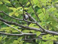 今日の鳥さん 170502709(№3) - 万願寺通信