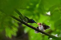 サンコウチョウ 給餌 - 鳥さんと遊ぼう