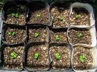 実生さがほのか栽培 約3.5ヶ月 - にゃんてワンダホー!