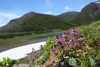 乗鞍岳・畳平の花 その2 - 花鳥風景