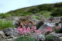 乗鞍岳・畳平の花 その4 - 花鳥風景