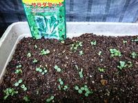 サラダセットの芽 - NATURALLY