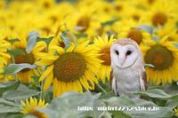 メンフクロウのみりんちゃん(ポポちゃん)&ひまわり - メンフクロウと一緒~ミリン~