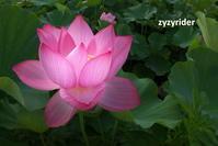 ハスの花一輪(その1) - ジージーライダーの自然彩彩