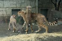 ネコ好きにはたまりません、チーター3兄弟の驚くべきジャンプ(日野市、多摩動物園) - 旅プラスの日記