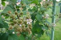 念願のラズベリー摘み ~Garten mit den Beeren~ - チーム名はファミリエ・ベア ~ハイジが記すクマ達との日々~