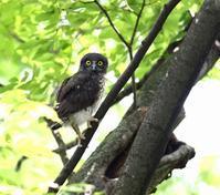 アオバズク巣立つ(その1)・・・ - 一期一会の野鳥たち